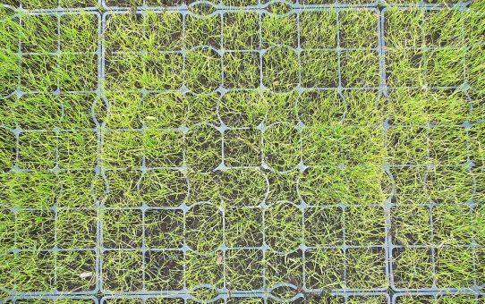Krata trawnikowa